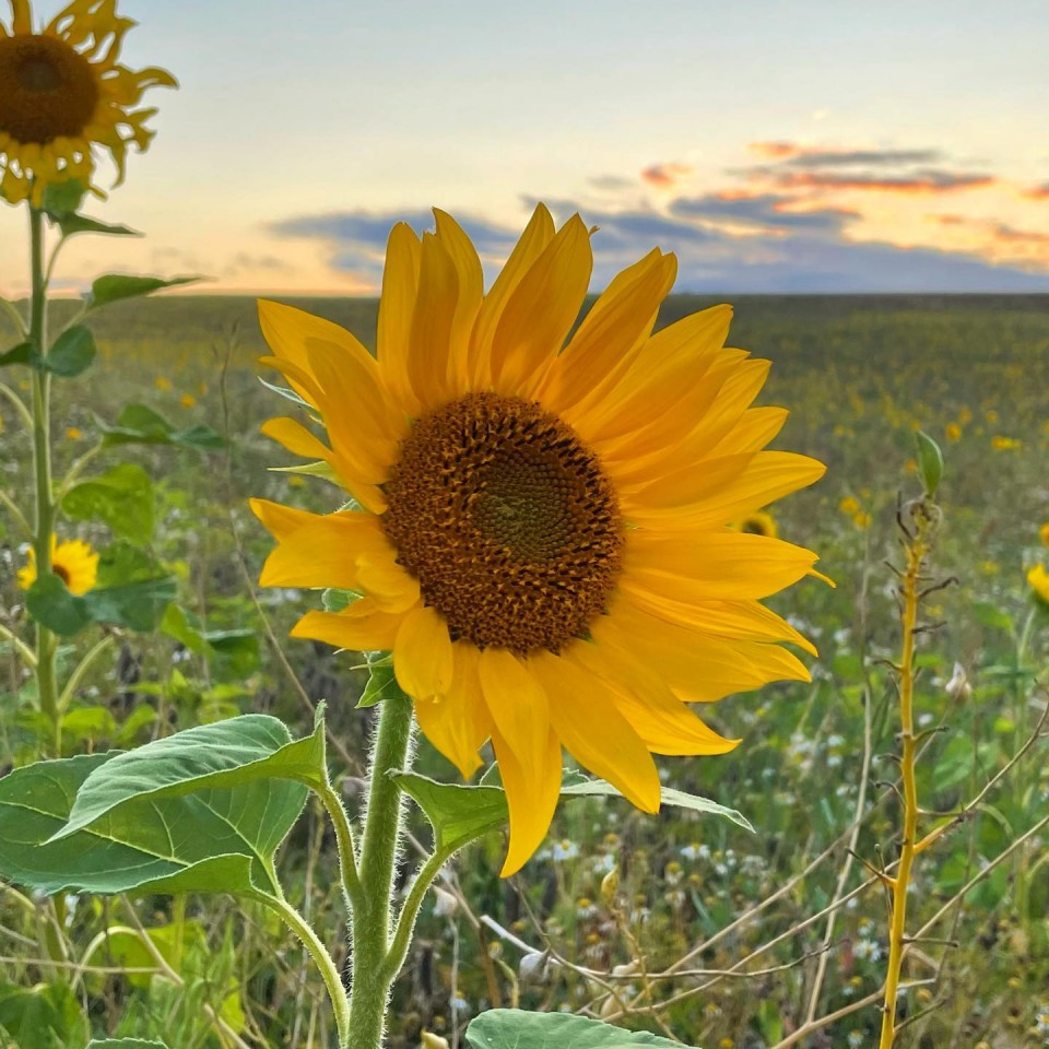 Sonnige Aussichten auf der Insel Rügen #sonnenblumenfeld
